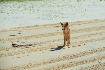 Dingo on the beach